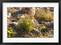 Framed Bloomin Poppies