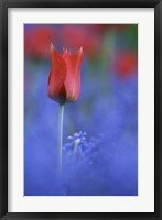 Tulip No 3 Framed Print