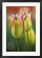 Tulip No 4 Framed Print