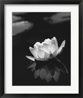Framed Water Lily BW