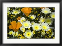 Framed Poppies and Daisies
