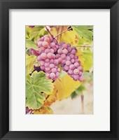 Framed Fresh From The Vine