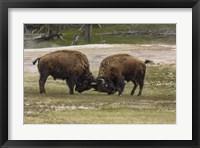 Framed Bison Bulls Sparing