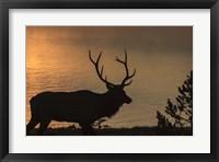 Framed Bull Elk at Sunrise