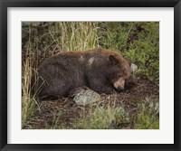 Framed Cinnamon Bear Sleeps