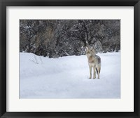 Framed Coyote in Snow