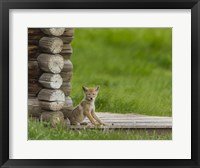 Framed Coyote Pup on Log Cabin Porch