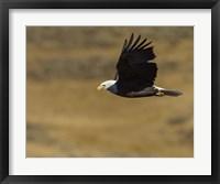 Framed Eagle Flying