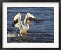 Framed Pelican GIO