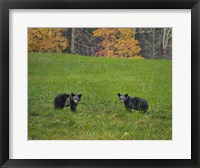Framed Black Bear Cubs