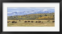 Framed Grand Teton Bison Grazing