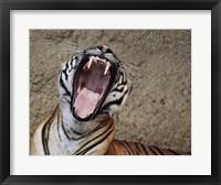 Framed Malayan Tigress Yawn