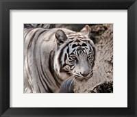 Framed White Tiger 2