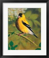 Framed Gold Finch