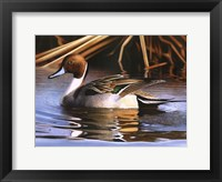 Framed Northern Pintail I