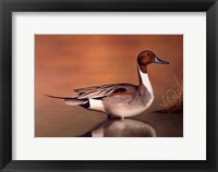 Framed Northern Pintail II