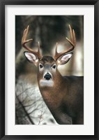 Framed White-tail Buck-close up