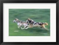 Framed Running Wolves