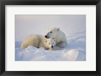 Framed Polar Bears Huddled Together