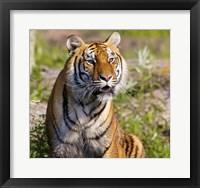 Framed Orange and Black Tiger in Wilderness