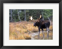 Framed Moose in Swampland
