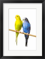 Framed Gorgeous Yellow and Blue Birds