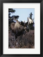 Framed Giant Moose