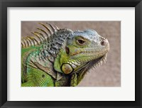 Framed Close Up of Green Iguana