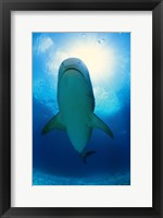 Framed Underside of a Great White Shark