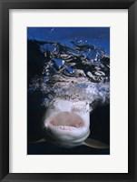 Framed Great White Shark Showing Teeth