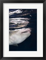 Framed Great White Shark Preying in Water