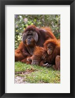Framed Two Orangutangs in Grass