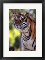 Framed Gorgeous Tiger Close Up