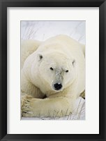 Framed Great White Polar Bear