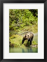 Framed Brown Bear near Lake