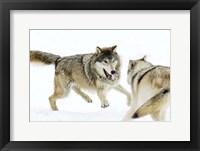 Framed Wolves Fighting in Snow