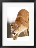 Framed Bobcat on the Prowl