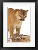 Framed Bobcat Standing over Prey