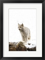 Framed Furry Bobcat in Snow