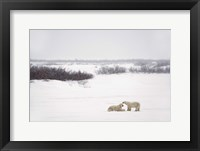 Framed Polar Bears Laying in Snow