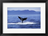 Framed Tail fin of a Humpback Whale in the sea, Alaska, USA
