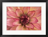 Framed Pink Dahlia Study