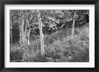 Sunlit Birches I Framed Print