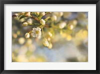 Blush Blossoms II Framed Print