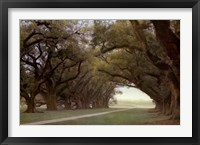 Framed Alley Of The Oaks