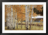 Framed Birch Beauty