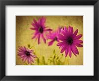 Fuchsia Daisy II Framed Print