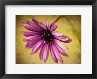 Framed Fuchsia Daisy IV
