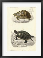 Framed Antique Turtle Duo II