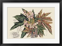 Framed Begonia Varieties I